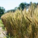 wheat study 2